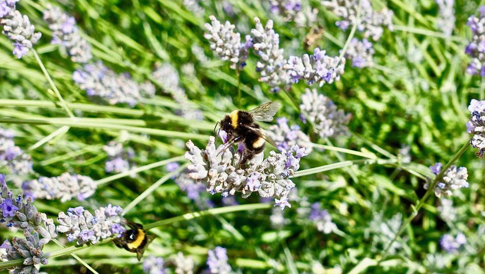 Bee, Nectar, Nature, Insect, Flora, Flower, Summer