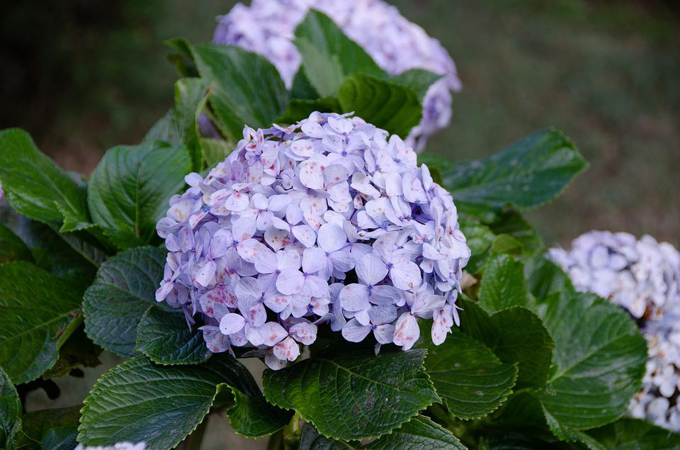 Hydrangea, Flower, Bloom, Nature, Blue, Flora, Plant