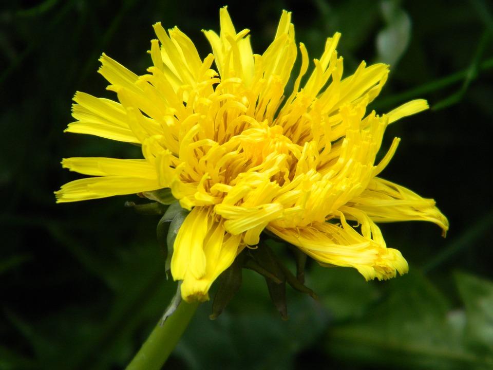 Dandelion, Nature, Flora, Flower, Spring, April, Floral