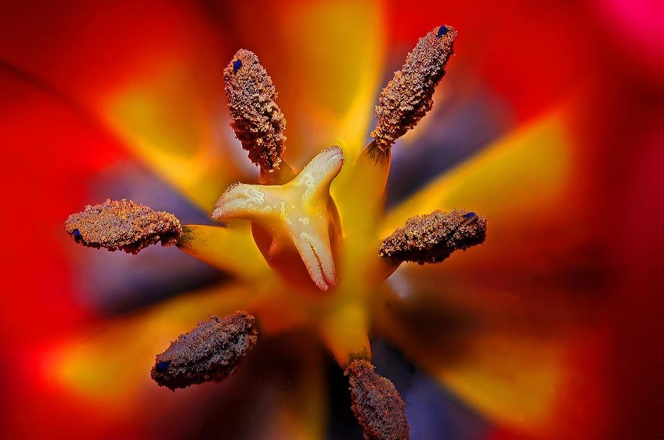 Flower, Tulip, Petals, Pistils, Plant, Floral, Flora