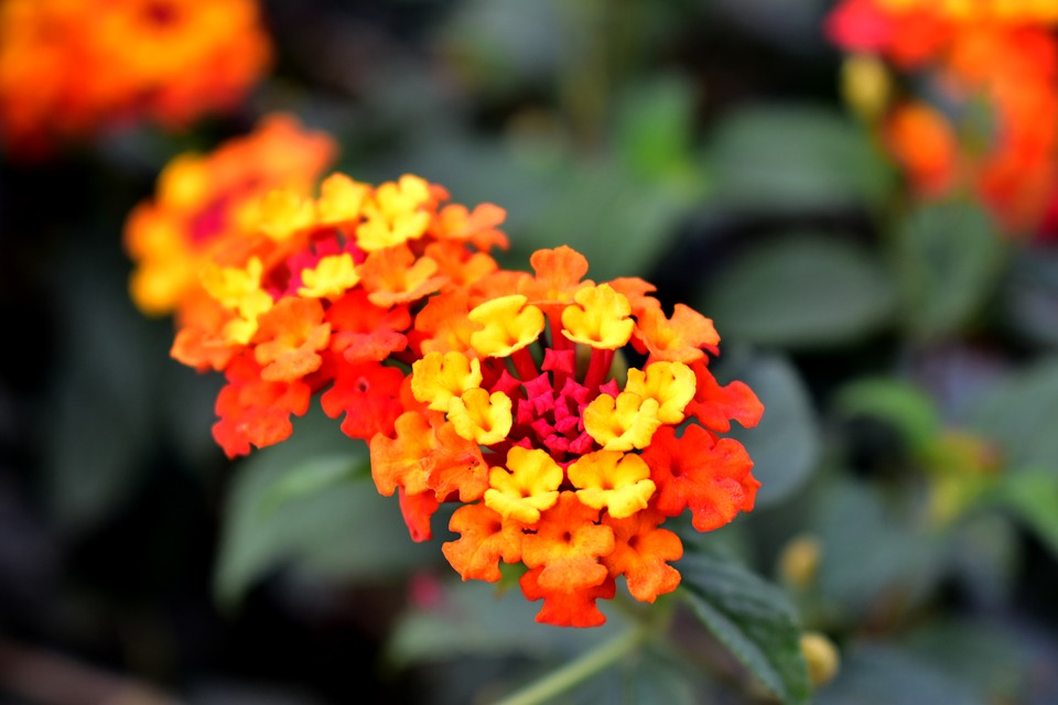 Free Photo Flower Flora Yellow Red Flowers Summer Plant Max Pixel