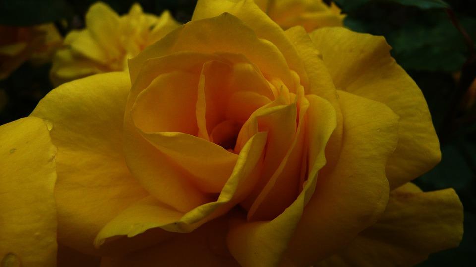 Rose, Yellow, Flower, Floral, Blossom, Love, Romance