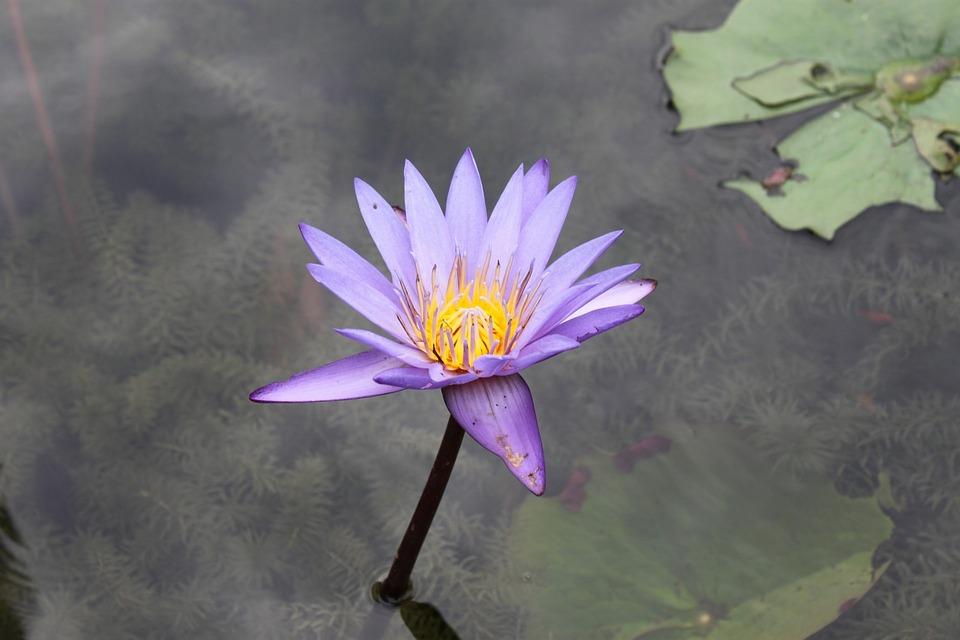 Lotus, Flower, Bloom, Blossom, Natural, Petal, Floral