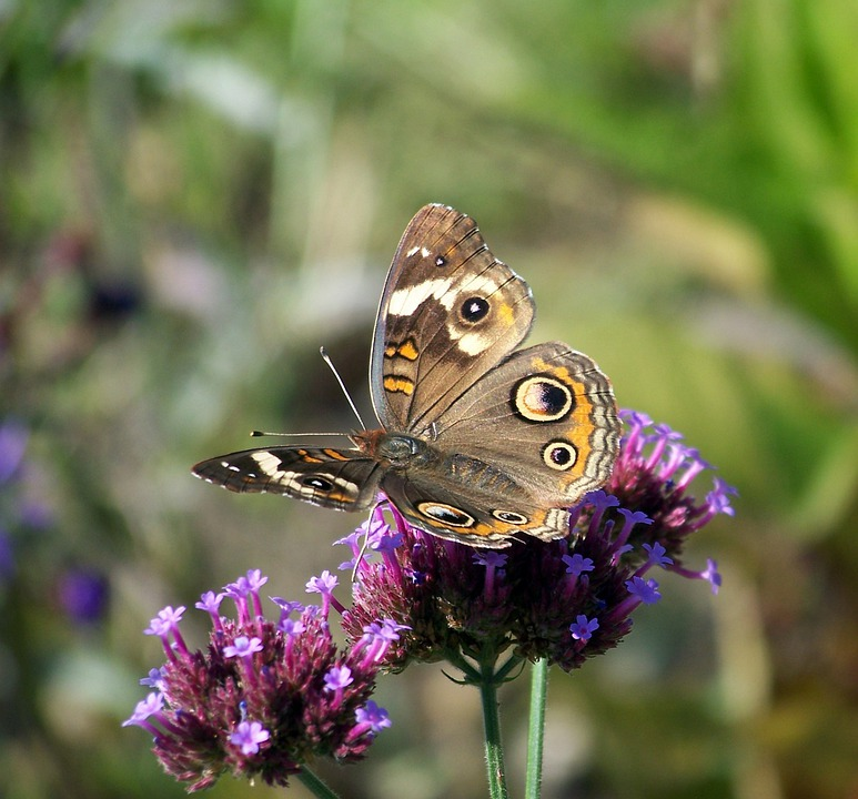 Butterfly, Wildflower, Flower, Floral, Plant, Natural