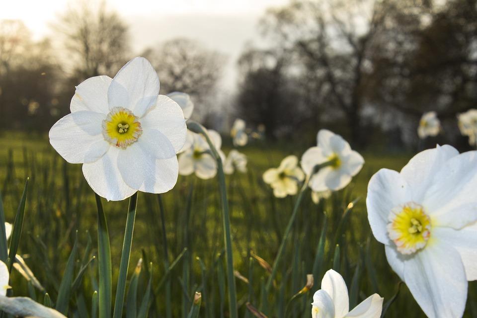 Daffodil, Flower, Spring, Nature, Floral, Spring Flower