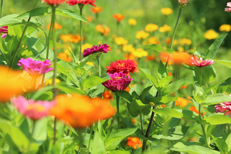 Zinnia, Flower, Flower Bed, Nature, Plant, Garden