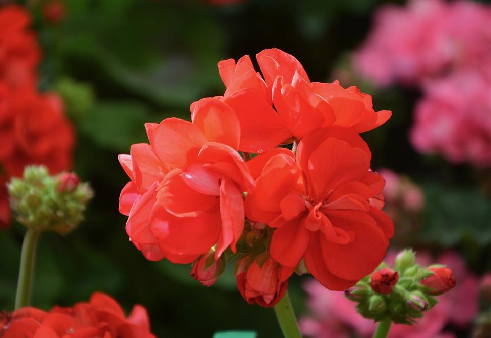 Flower, Red Geranium, Flower Buds, Plant, Garden