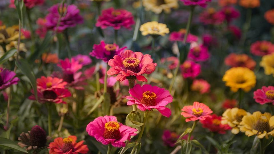 Zinnias, Composites, Flower, Flower Garden, Zinnia