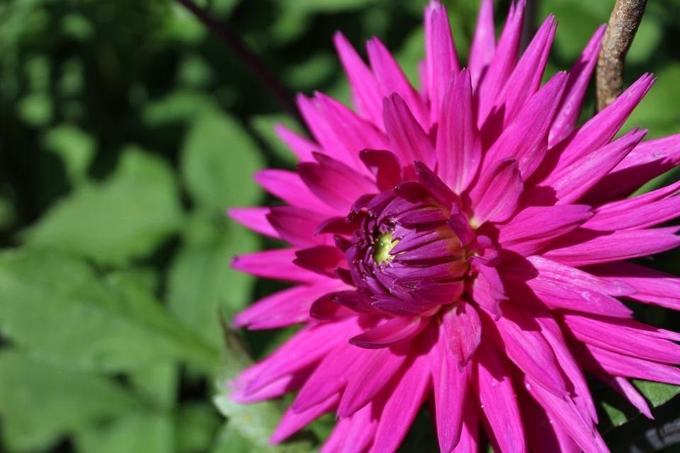 Dahlia, Flower, Flower Garden, Ornamental Flower