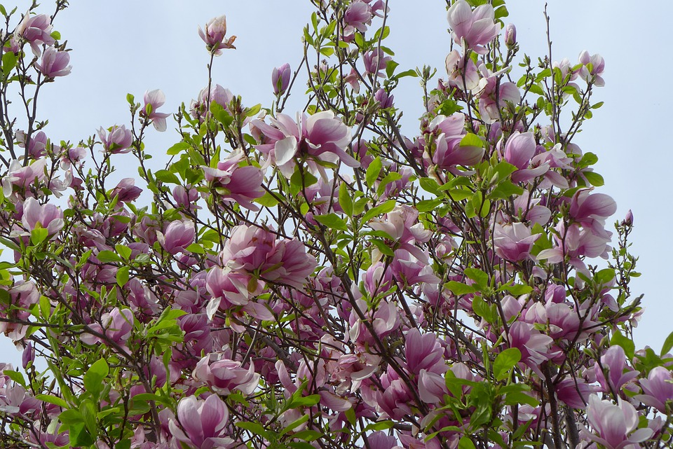 Tree, Flower, Hanging Flower, Flower Tree, Pink, Garden