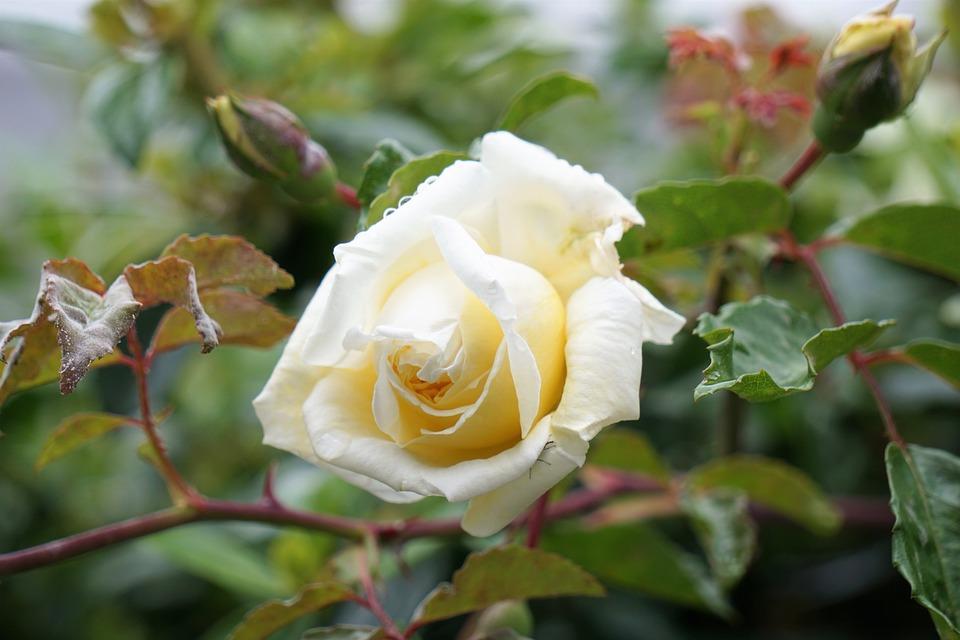 Flower, Pink, Garden, Nature, Flowering, White Rose
