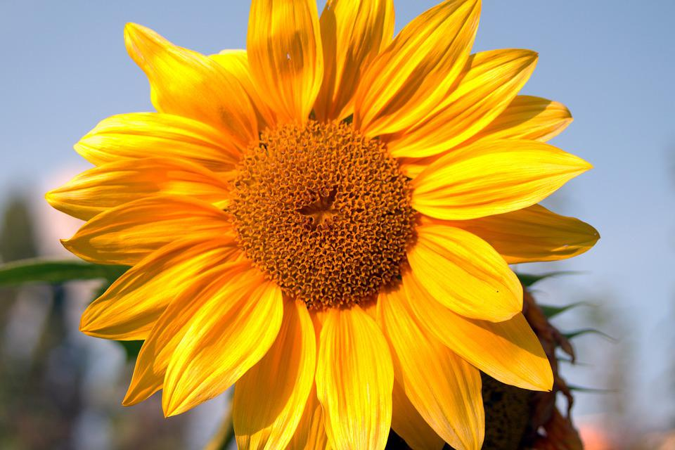 Sunflower, Yellow, Garden, Flower, Flowering