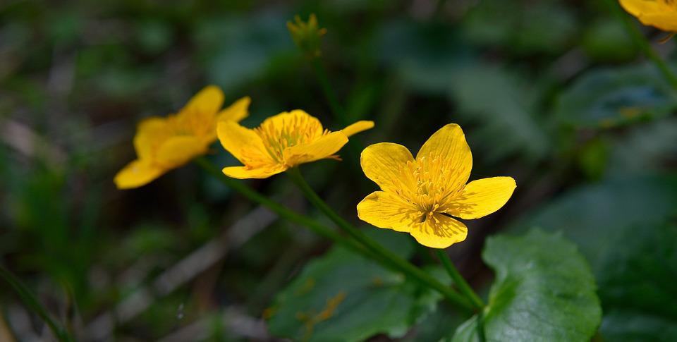 Caltha Palustris, Flowers, Yellow, Flower, Nature
