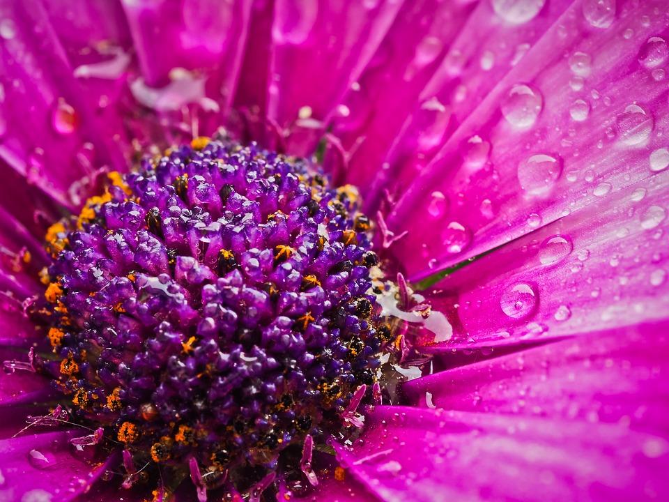 Cape Basket, Flower, Composites, Flowers, Cape Daisies