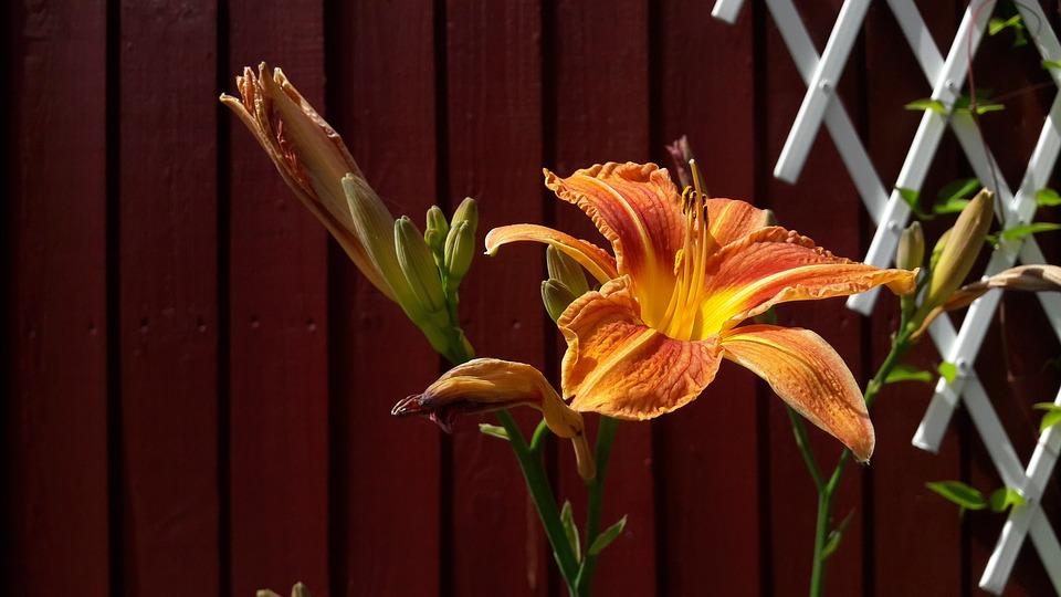 Lily, Orange, Orange Lily, Flowers, Summer, Flower