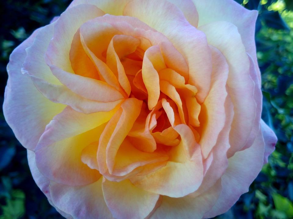 Roses, Flowers, Nature, Flower, Garden, Bella, Beauty
