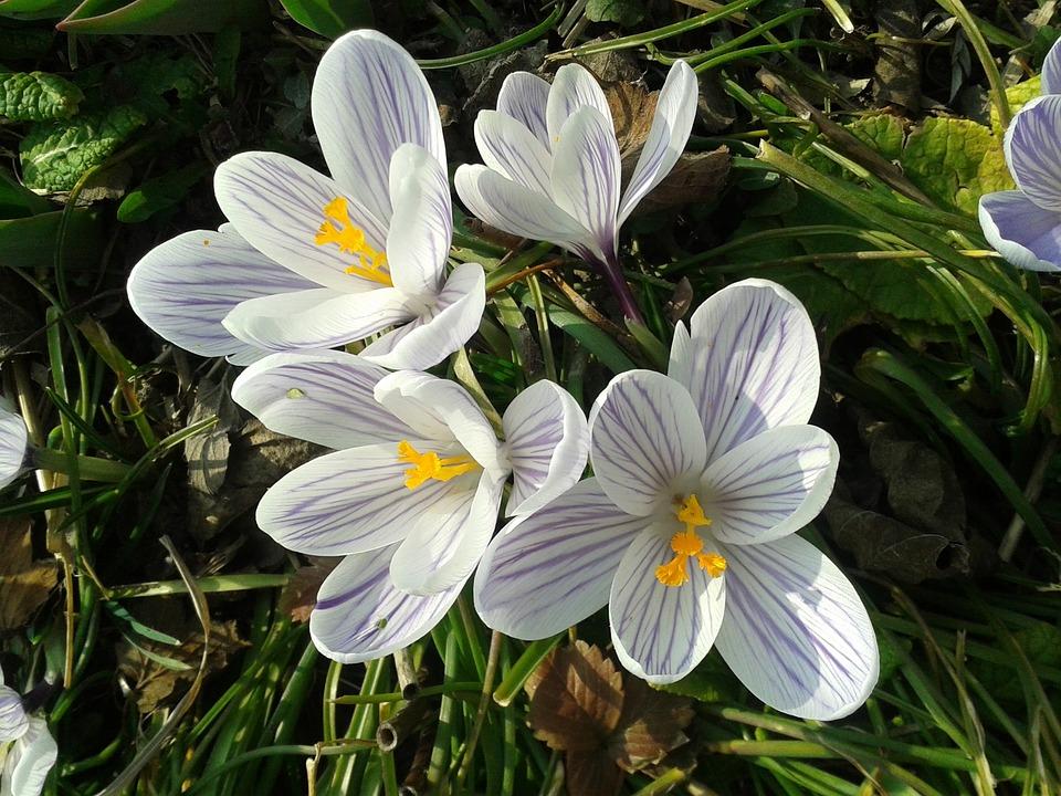 Crocus, Flower, Nature, Plant, Garden, Flowers