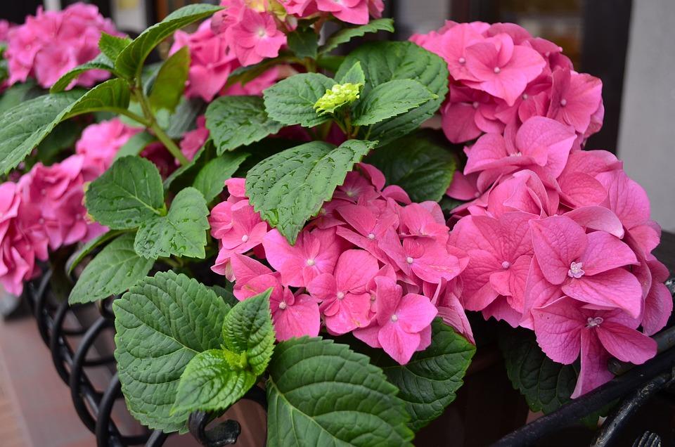 Hydrangea, Pink, Pink Flower, Flower, Flowers