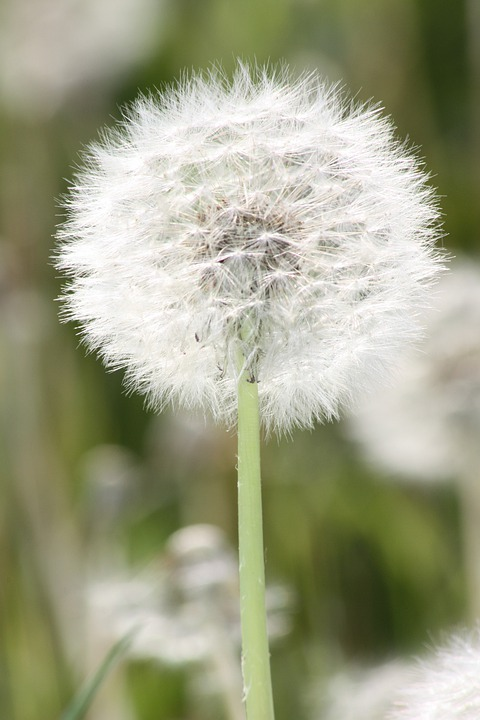 Dandelion, Plant, Meadow, Garden, Flower, Flowers