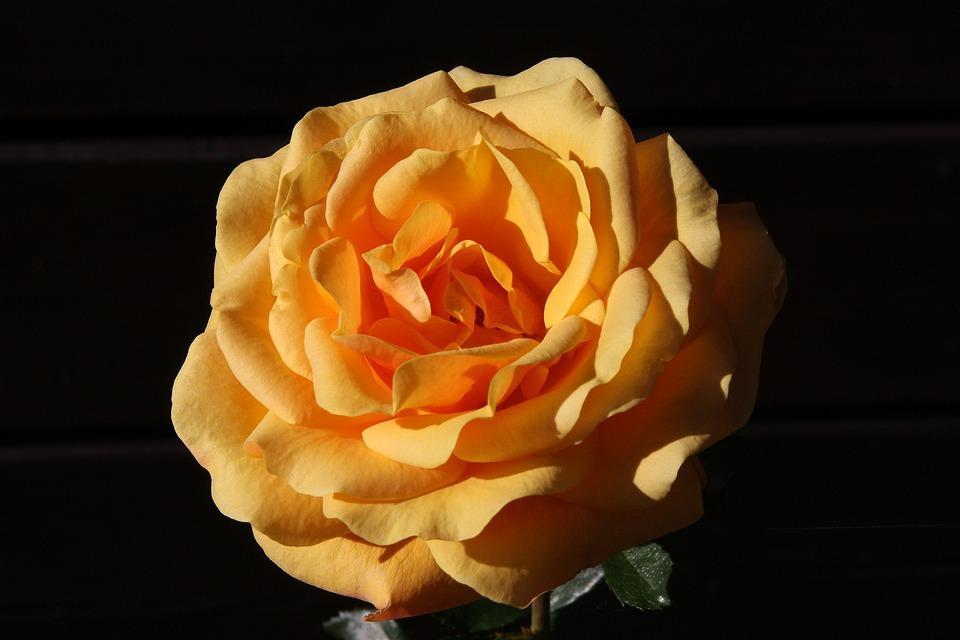 Flowers, Rosa, Flower, Rose, Fiorita