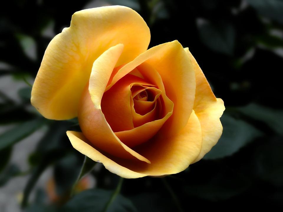 Rose, Orange, Flowers, Flower, Summer, Nature, Plant