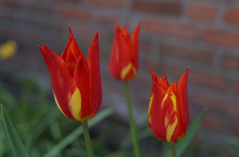 Tulips, Flower, Flowers, Dutch, Red Yellow, Sweet