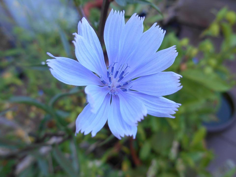 Lettuce, Flowers, Vegetable Flower, Blue, Flower