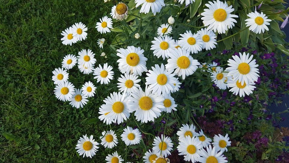 Free photo flower flowers white flowers chamomile summer max pixel flower chamomile flowers white flowers summer mightylinksfo