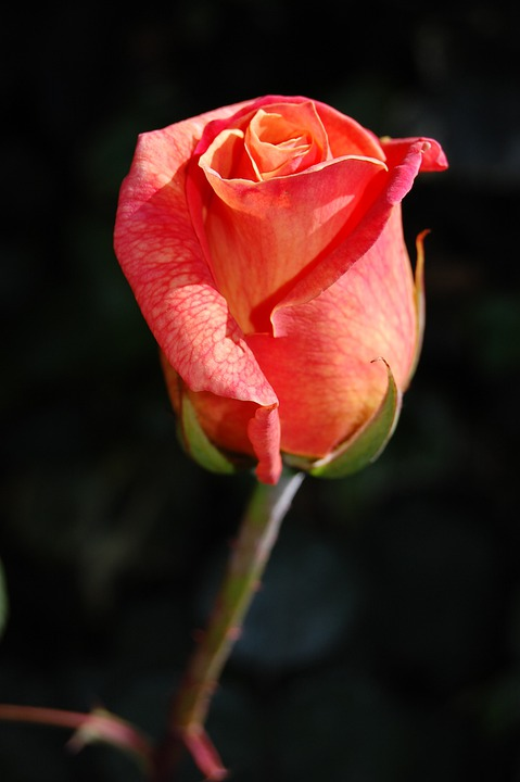 Rose, Roses, Flora, Flower, Flowers, Bloom, Fragrance