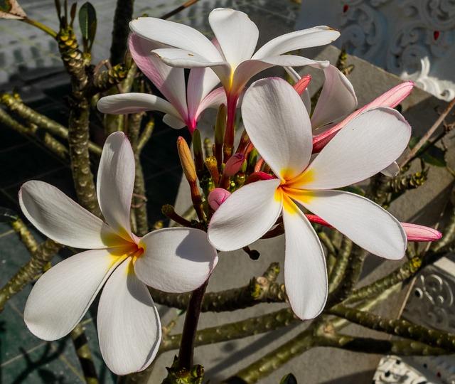 Blossom, Bloom, Flower, White, Yellow, Frangipani