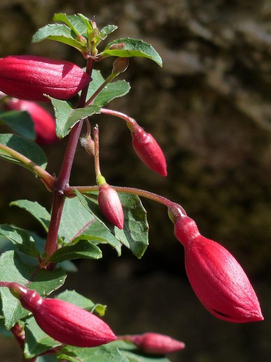 Fuchsia, Bud, Red, Flower, Bright