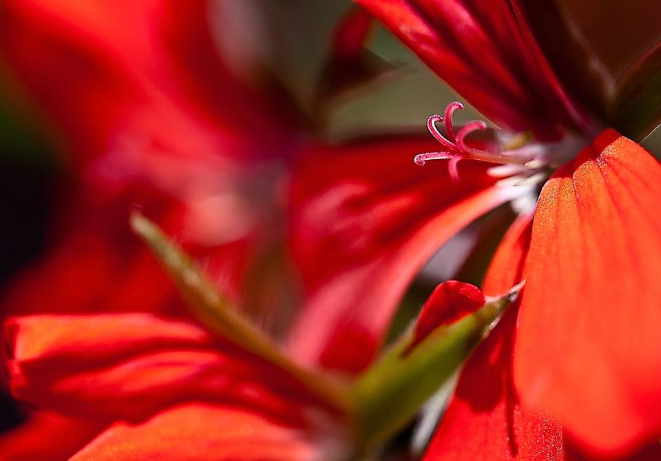 Flower, Geranium, Pelargonium Thapsus, Full Bloom