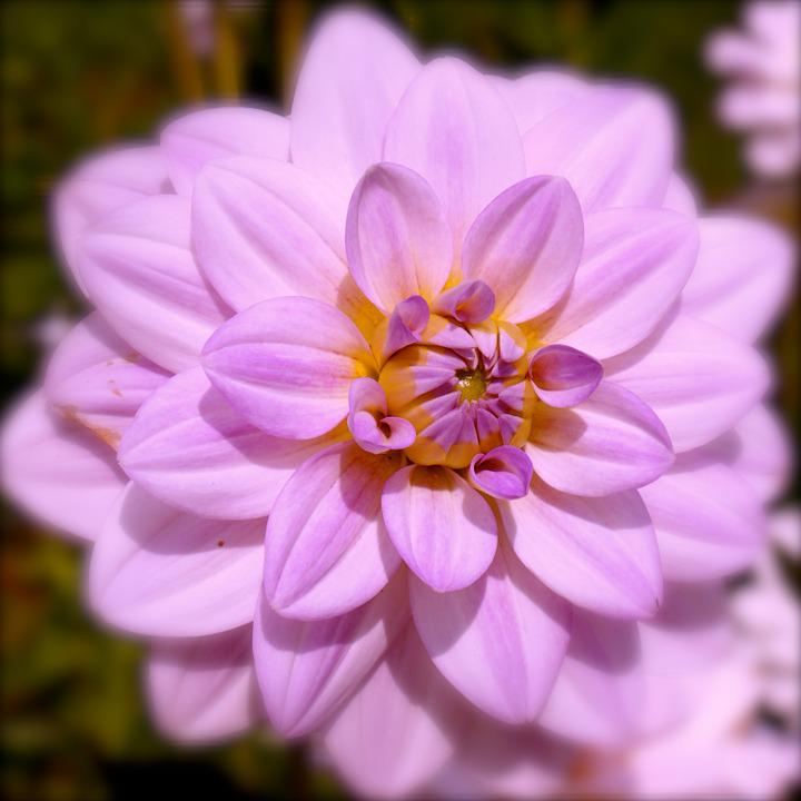 Dahlia, Flower, Purple, Flower Garden, Blossom, Bloom