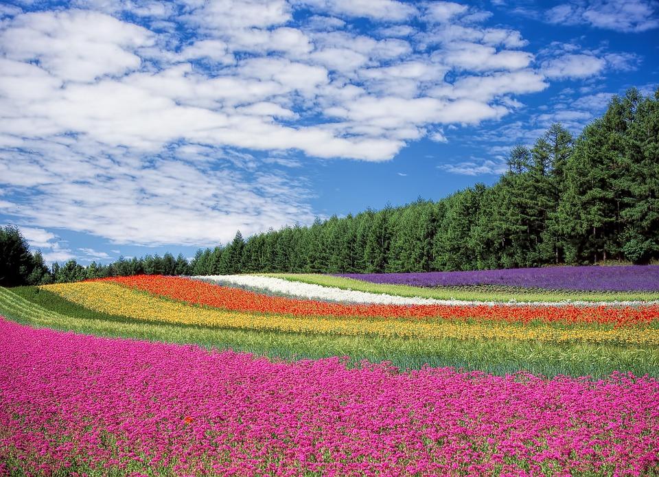 Flower Garden, Blue Sky, Hokkaido, Japan