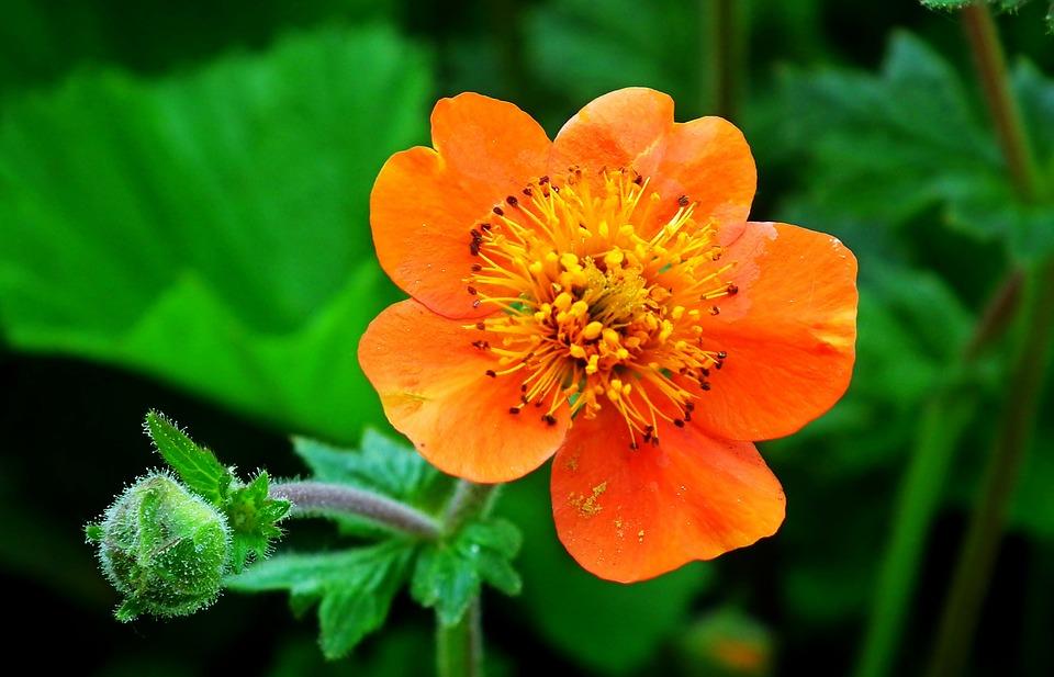 Maczek, California, Flower, Orange, Garden, Nature