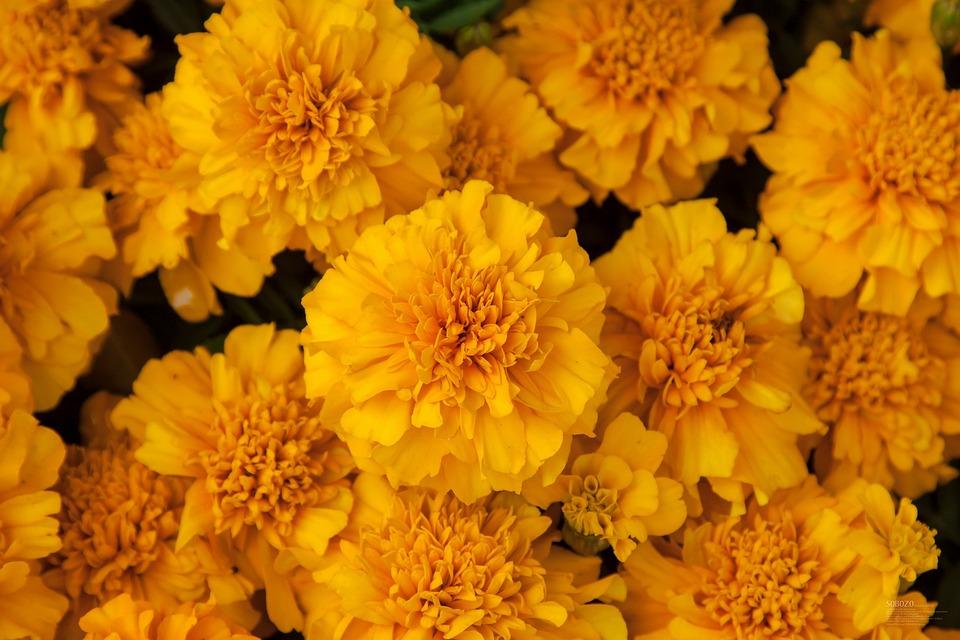 Chrysanthemum, Yellow, Plant, Pile, Flower, Garden
