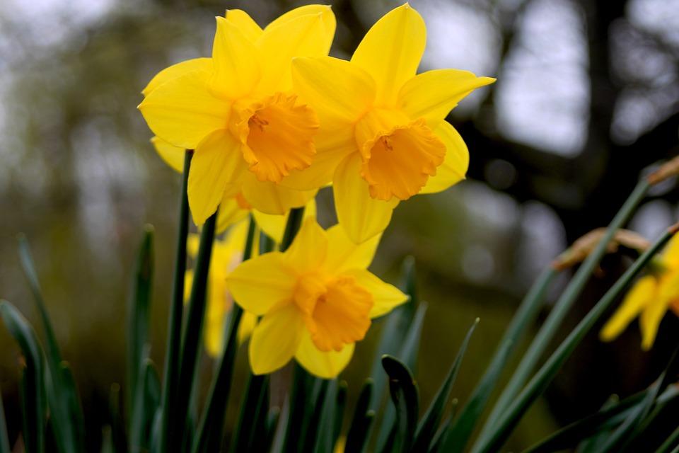 Nature, Flower, Flora, Garden, Daffodil