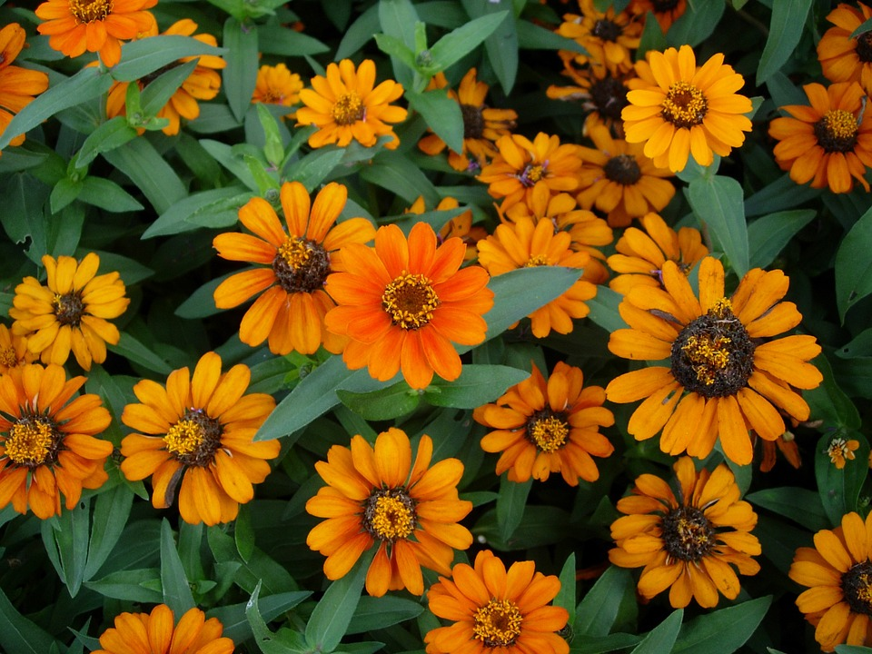 Zinnia, Yellow, Flower Garden, Summer Flower, Flowers