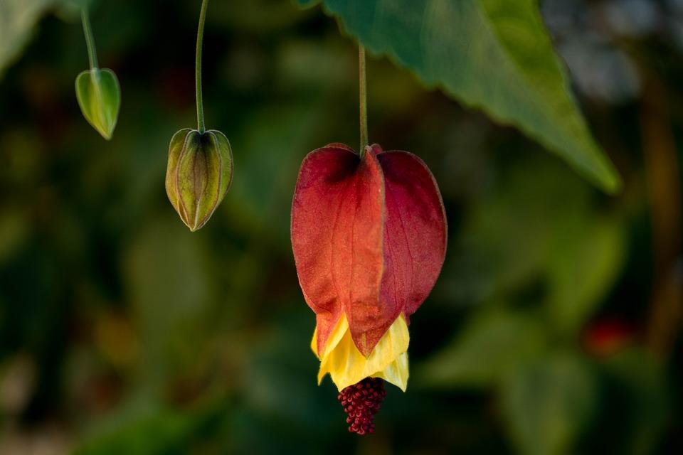 Comanche, Nature, Flower, Macro, Garden