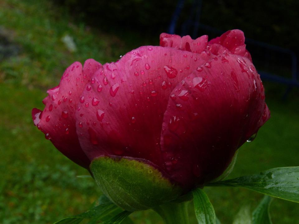 Flower, Nature, Macro, Peony, Red, Morning Dew, Garden