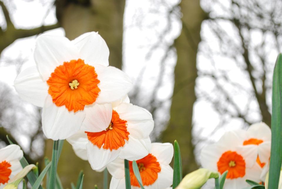 Bloom, Flower, Garden, Spring, Narcissus, Daffodil