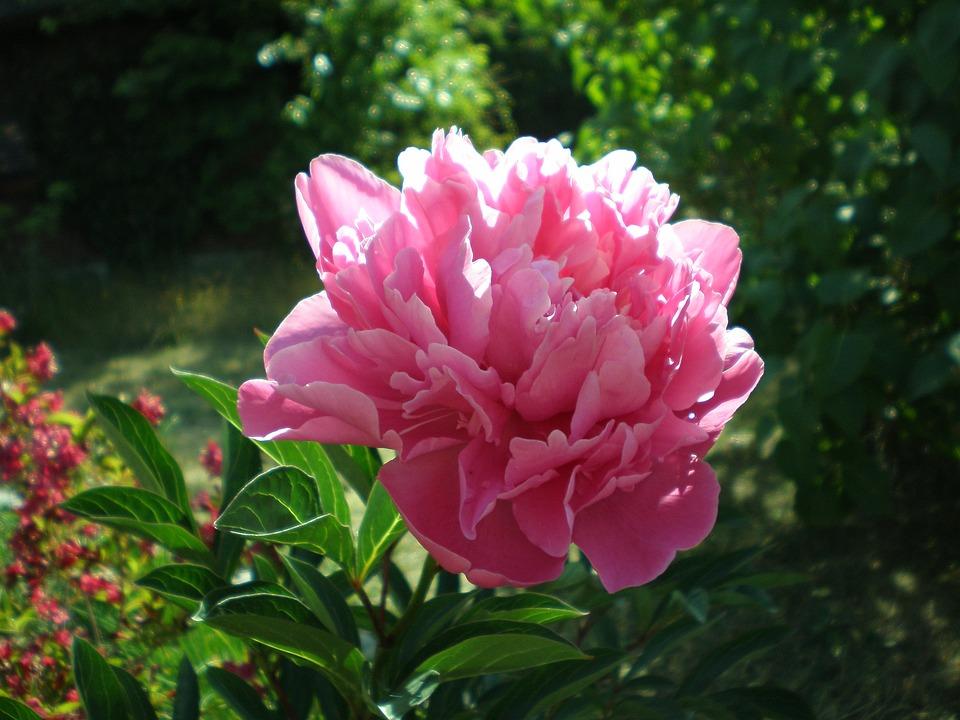 Peony, Flower Garden, Flower, Red, Blossom, Bloom