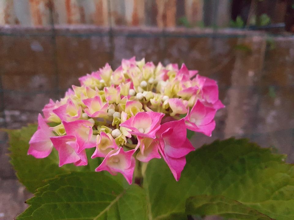 Flower, Garden, Pink