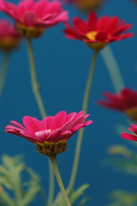 Margarite, Pink, Flower Garden, Blossom, Bloom, Nature