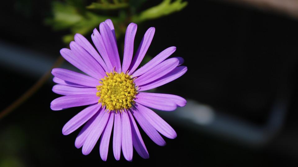 Flower, Flora, Plant, Garden, Violet, Nature, Blooming