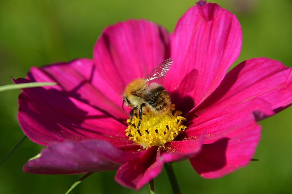 Cosmos, Plant, Flower, Nature, Pink, Garden, Summer