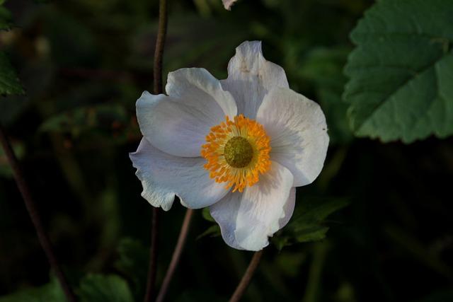 Anemone, Autumn, Sunlight, White, Flower, Garden Plant
