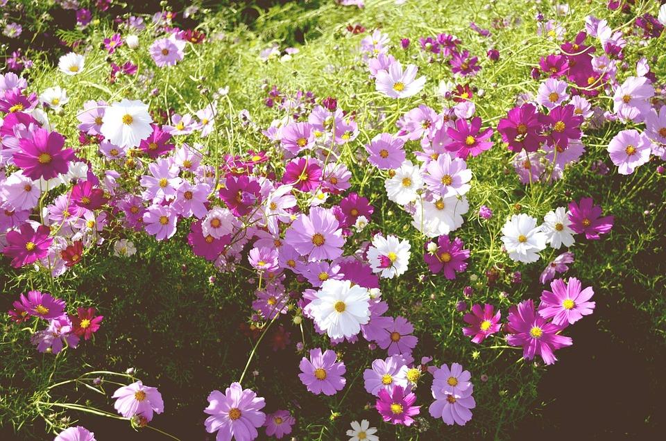Flower Garden, Autumn, Course, Cosmos, Plants, Flowers