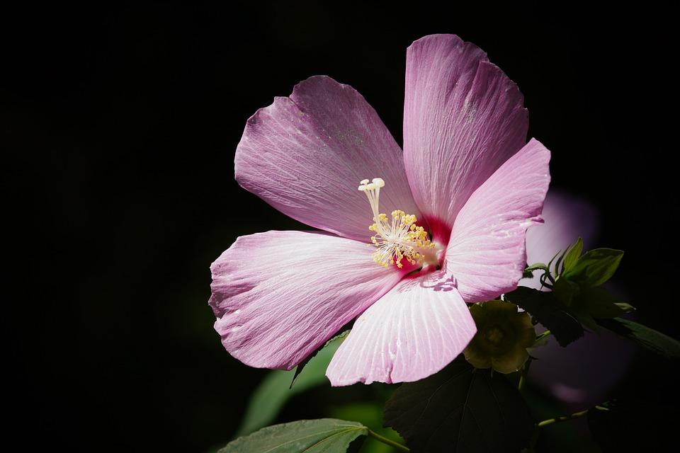 Flower, Plants, Nature, Mugunghwa, Conicuri, Garden