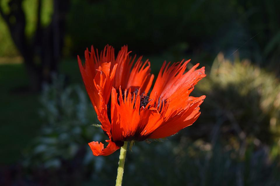 Poppy, Flower, Poppy Flower, Nature, Garden